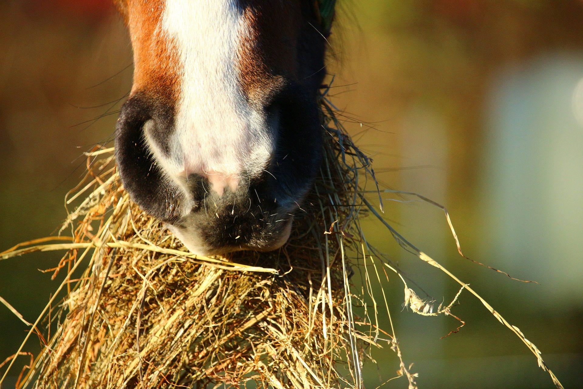 Fodring af hest og pony