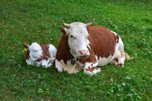 cow-1672056_1920
