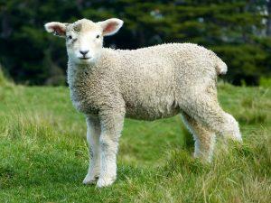 sheep-275928_1920