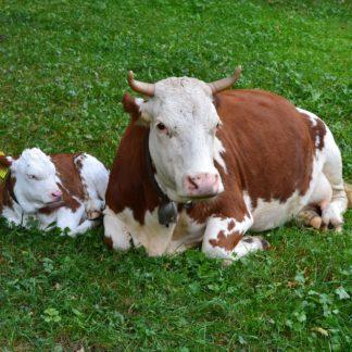 Naturmedicinsk Sundhedstest til produktions dyr